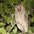 Long-eared owl (28448368777).jpg