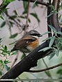 Long-tailed Shrike (Lanius schach) (28877222960).jpg