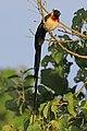 Long-tailed paradise-whydah (Vidua paradisaea) male.jpg