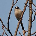 Long-tailed tit on the branch of tree - 3.jpg