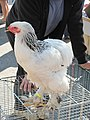 Louhans little cock 2.jpg