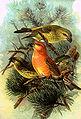 Loxia pityopsittacus NAUMANN.jpg