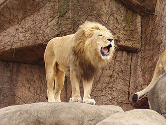 Lincoln Park Zoo - Adelor, a male African lion in the Lincoln Park Zoo