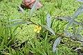 Ludwigia erecta (Onagraceae) (29278474563).jpg