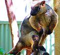 Lumholtz's tree kangaroo-01.JPG