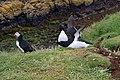 Lunga Treshnish Isles Alca torda 7.jpg