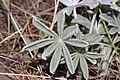 Lupinus leucophyllus 9588.JPG