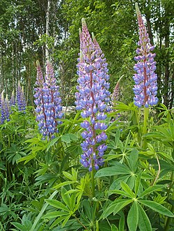 Blomsterlupin (Lupinus polyphyllus)