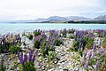 Lupinus sp. at Lake Tekapo, New Zealand 16.jpg
