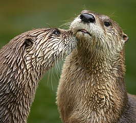 Rivierotter (Lontra canadensis)