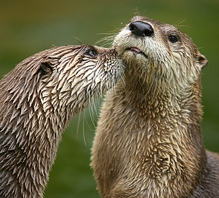 North American river otter one of the only two species of otter in North America, along with the sea otter