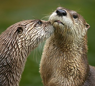 Otter - North American river otters