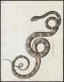 Lycodon petolarius - 1734-1765 - Print - Iconographia Zoologica - Special Collections University of Amsterdam - UBA01 IZ11900170.tif