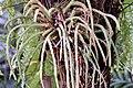Lycopodium carinatum 2zz.jpg
