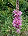 Lythrum-salicaria-flowers.JPG
