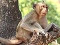 Macaca fascicularis-male resting.jpg