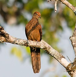 Macropygia-ruficeps-little-cuckoo-dove (cropped).jpg