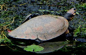 Magdalena Valley dry forests - The Magdalena River turtle (Podocnemis lewyana) is critically endangered.