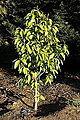 Magnolia champaca - San Francisco Botanical Garden - DSC00088.JPG