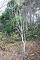 Magnolia doltsopa - Mendocino Coast Botanical Gardens - DSC02085.JPG