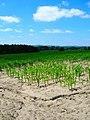 Maize Field near Woodgate Farm - geograph.org.uk - 864552.jpg