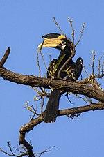 Malabar Pied Hornbill - Bandavhgarh 0041 (16222270779).jpg