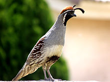 Male Gambel's Quail in Mesa, Arizona.jpg