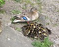 Mallard duck with ducklings by Stonebridge Pond on West Street - geograph.org.uk - 1270852.jpg