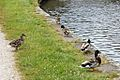 Mallard ducks, Appley Bridge (geograph 4531341).jpg