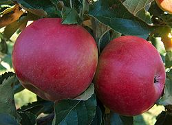 Malus-Idared on tree.jpg
