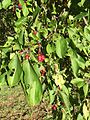 Malus baccata fruits.jpg