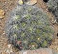 Mammillaria compressa 1.jpg