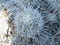 Mammillaria parkinsonii (5780597056).jpg