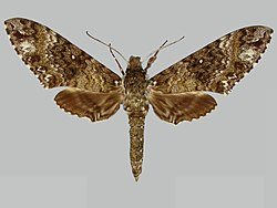 Manduca trimacula BMNHE273659 male up.jpg