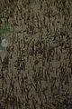 Mangrove Roots - Godkhali - South 24 Parganas 2016-07-10 4957.JPG