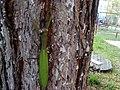 Mantis religiosa - Transylvania - 3.jpg