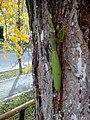 Mantis religiosa - Transylvania - 4.jpg