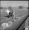 """Manzanar Relocation Center, Manzanar, California. Evacuee in her """"hobby garden"""" which rates highest . . . - NARA - 537986.tif"""