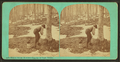Maple sugar making. Tapping the sugar malpes (maples), by Vermont Stereoscopic Company.png