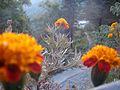Marigold in wild.jpg