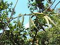 Marsdenia sylvestris.JPG