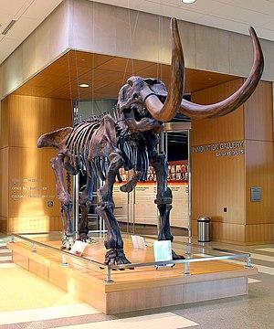 North Dakota Heritage Center - Mastodon skeleton on display in the museum