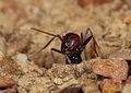 Meat Ant (Iridomyrmex purpureus) (33507569846).jpg