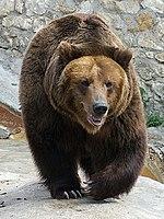 Medved mzoo.jpg