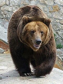 Największy drapieżnik w Polsce - niedźwiedź brunatny