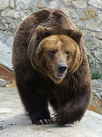 Carnivora - A brown bear, showing the sharp teeth and claws characteristic of carnivorans