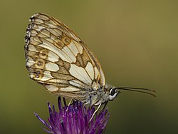 Melanargia galathea bottom MichaD.jpg