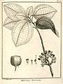 Melastoma arborescens Aublet 1775 pl 163.jpg