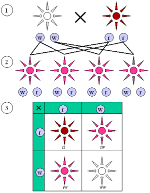 "Mendelian inheritance - In four o'clock plants, the alleles for red and white flowers show incomplete dominance. As seen in the F1 generation, heterozygous (wr) plants have ""pink"" flowers—a mix of ""red"" (rr) and ""white"" (ww) coloring. The F2 generation shows a 1:2:1 ratio of red:pink:white"