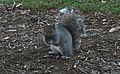 MenomonieSquirrel.JPG